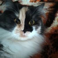 Пропала кошка, окрас трехцветный, пушистая