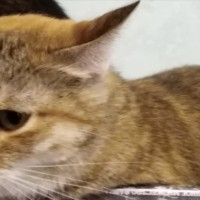 Потеряна кошка, окрас тигровый