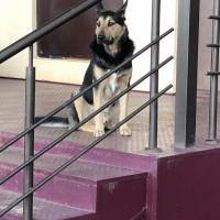 Найдена собака\пес, окрас черно-коричневый