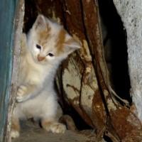 В добрые руки, котенок, окрас белый с рыжими пятнами