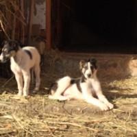 Убежали собаки, порода борзая, окрас белый с черными пятнами