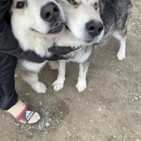 Потеряны 2 собаки, порода маламут, окрас черно-белый