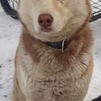 Пропала собака, порода хаски