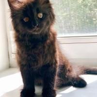 В добрые руки, котенок, окрас черный