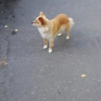 Найдена собака, окрас рыже-белый