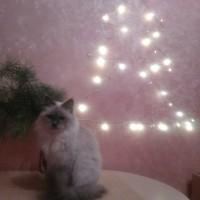 Пропала кошка, порода невская маскарадная