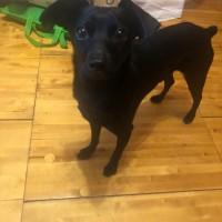 Пропала собака цвет черный и серебристый