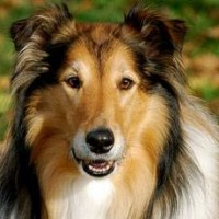 Пропала собака, порода колли, окрас трехцветный
