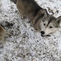 Пропали собаки, порода хаски