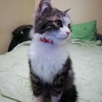 Найден котёнок, окрас трехцветный