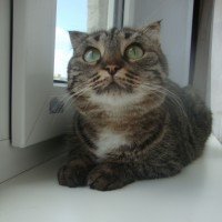 В добрые руки, кошка, окрас камышовый с белым воротничком