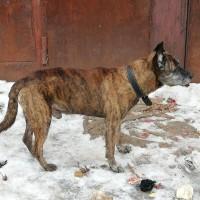 Найден пёс, окрас коричневый