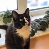 В добрые руки, котенок, окрас черно-белый