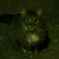 Найден кот, окрас камышовый с белыми пятнами