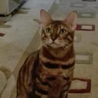 Пропал кот, порода бенгальская