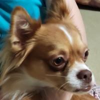 Пропал пёс, порода чихуахуа, окрас рыжий