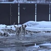 Найден пёс, окрас белый с коричневыми пятнами