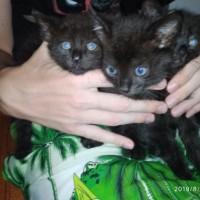В добрые руки, котята, окрас черный