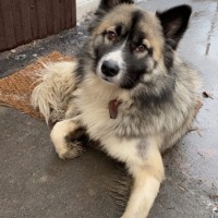 Найден пёс, окрас серо-коричневый