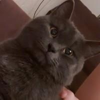 Пропал кот, порода британская, окрас тёмного-серого цвета
