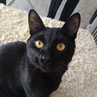 Пропал кот, окрас черный
