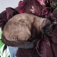 Пропал кот, окрас сиамский