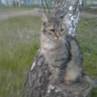 Пропала кошка, окрас серый, пушистая