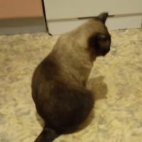 Потерялся кот, окрас бежево-коричневый