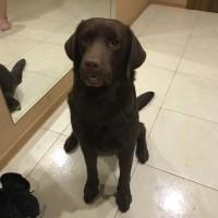 Пропала собака, порода лабрадор, окрас коричневый