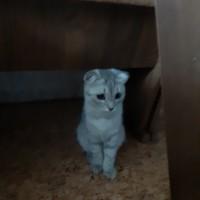 Найдена кошка, окрас серый, вислоухая