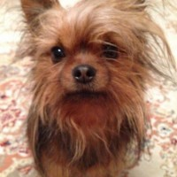 Потерялась собака, порода чихуа-мини, окрас бежевый
