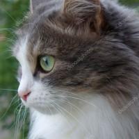 Пропала кошка, окрас смешанный