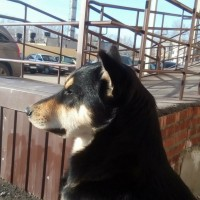 Найден пес, окрас черно-коричневый