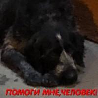 Найдена собака, окрас черно-серый