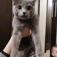 В добрые руки, кошка, окрас дымчатый