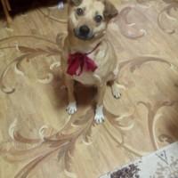 Пропала собака, окрас палево-рыжий