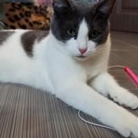 Пропала кошка, окрас черно-белый