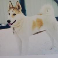 Пропала собака, породы лайка