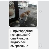 Пропал пёс, порода русская пегая