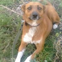 В добрые руки, собака, окрас коричневый с белой грудкой и лапами