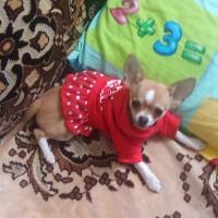 Пропала собака, порода чихуахуа, окрас рыжий с белым