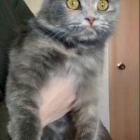 В добрые руки, кошка, окрас серый с рыжицой