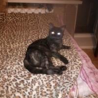 Пропала кошка, окрас темный