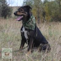 В добрые руки, пес, окрас темный с коричневыми пятнами и белой грудкой