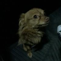 Найден пес, порода чихуахуа