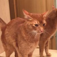 Найден кот, окрас рыжий