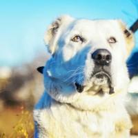 Найдена собака, порода алабай, окрас белый с коричневыми пятнами