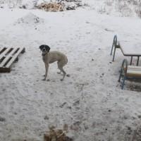 Найден пес, окрас светлый