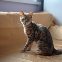 В добрые руки, кошка, окрас рыже-серый, пятнистая