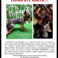 Пропала собака, порода йоркширский терьер, окрас черно-коричневый